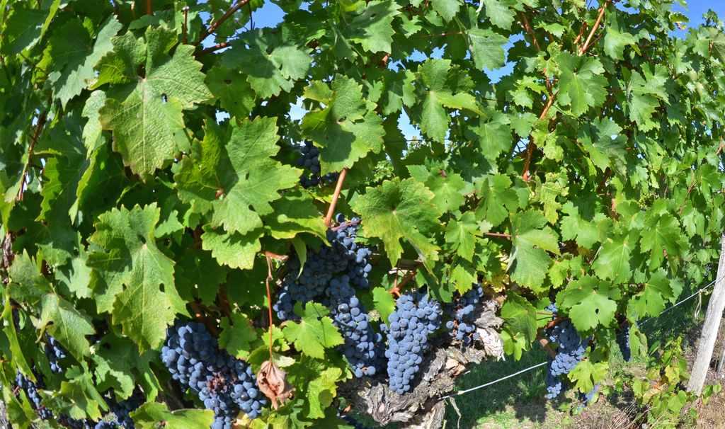 vin-bergerac-monbazillac-gerales-dsc_4065