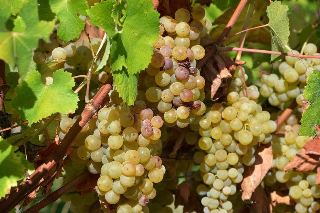 vin-bergerac-monbazillac-gerales-dsc_4139